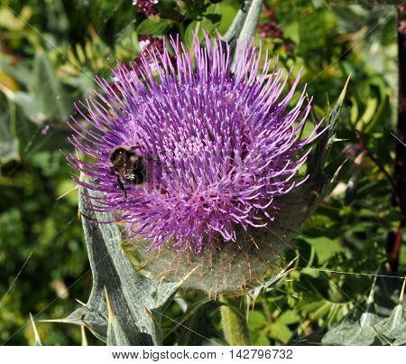 Milk Thistle plant with a bee. Silybum marianum herbal remedy. Scotch thistle, Cardus marianus, Saint Mary's Thistle