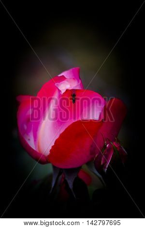 red rose bud with a creeping fly