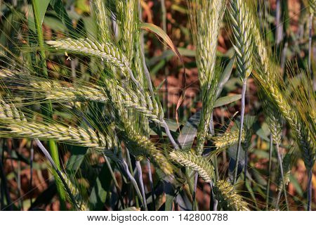 Rye(Secale cereale) ears close-up with Cornflowers, Podlasie Region, Poland, Europe