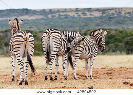 Scratching Time - Burchell's Zebra