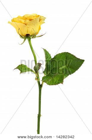 Yellow Rose On The White Background