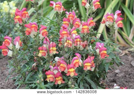 beautiful tender pink color with yellow center bloom flowers call snapdragon