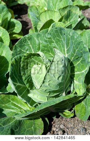 Tasty fresh green cabbagees in vegetable garden