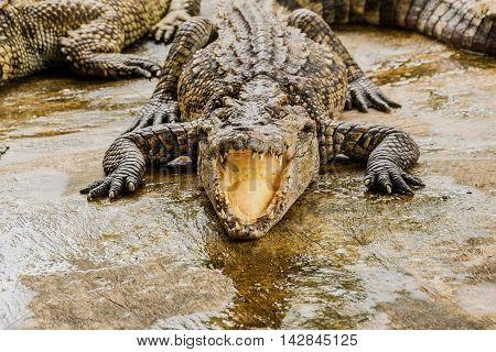 Gray Crocodiles Resting In A Crocodiles Farm