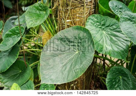Elefant ear plant Araceae Tropical with great green leafs
