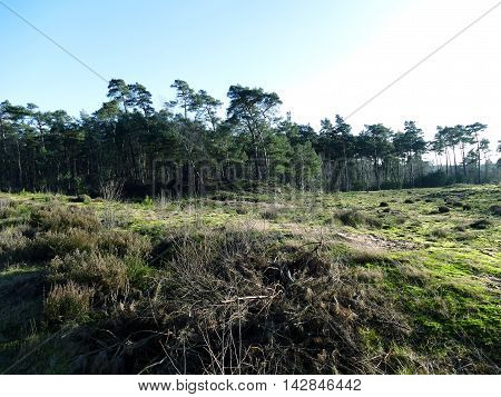 Pine Forest Trees With Blue Sky With Heath And Moss On Foreground