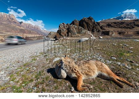 Roadkill fox on roadside of highway in canyon car passing by