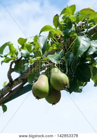 Two tasty fresh pears growing in the garden