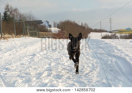 Black Mixed Breed Dog running peppy in snow