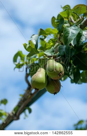 Green fresh pears growing on the tree