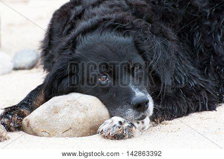 Black dog resting on beach close up . Portrait