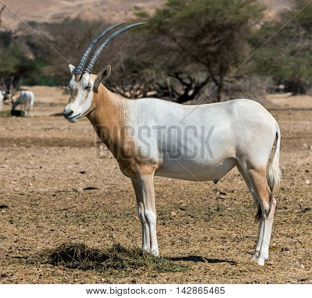 Sahara scimitar Oryx (Oryx leucoryx) in Hai-Bar nature reserve near Eilat, Israel. This species is in danger of extinction in its native environment in Sahara desert. Due to danger of extinction, it was introduced and adopted in nature reserve near Eilat,