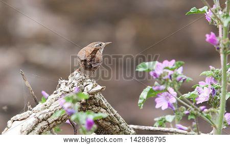 photograph of an alert little Jenny Wren