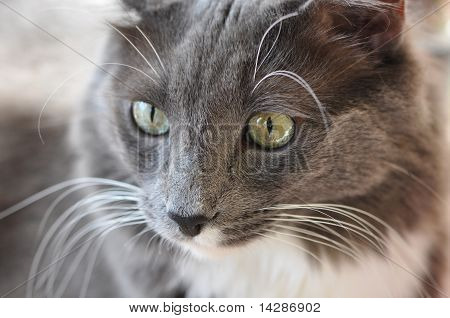 Closeup of a staring gray and white cat with green eyes poster
