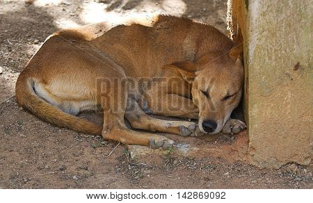 photo of a feral dog in India resting in the shade