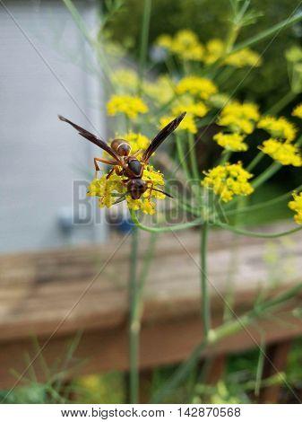 scoliid wasp on garden fennel in the sunshine
