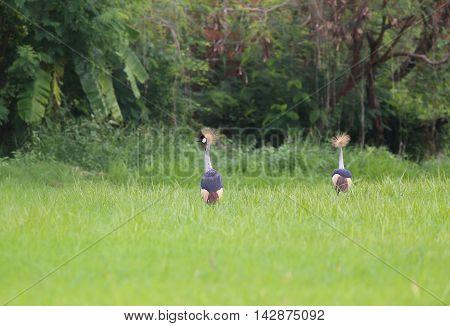 Grey crowned crane sweetheart in rice fields.