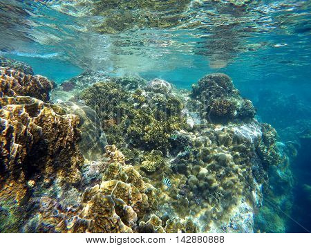 Coral reef of tropical sea during low tide: colorful coral close to water surface. Underwater landscape with coral diverse in turquoise water. Real ocean world. Snorkeling near Apo Island Philippines