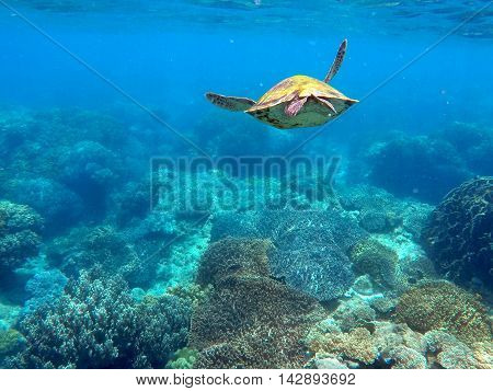 Green sea turtle above the coral reef and sea bottom. Lovely sea turtle closeup. Green turtle swimming in the sea. Snorkeling with turtle. Philippines snorkeling spot - Apo island. Tropical sea life