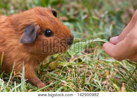 hand feeding young guinea pig with dandelions