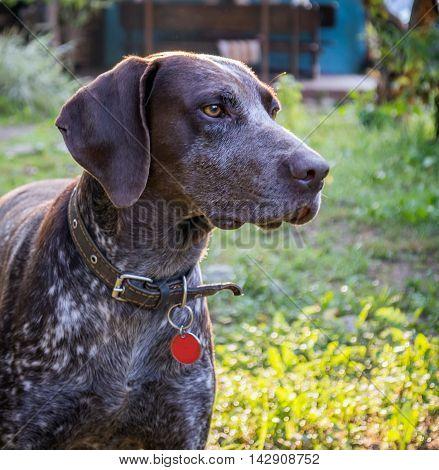 German Shorthaired Pointer - Hunter Dog