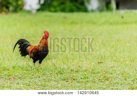 Beautiful Rooster on greensward in nature background