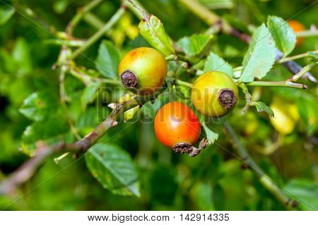 The wild rose (Rosa Canina) berries rose hips.