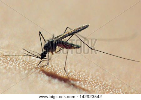 A Mosquito, possibly an Ochlerotatus annulipes, just after commencing feeding from a human arm