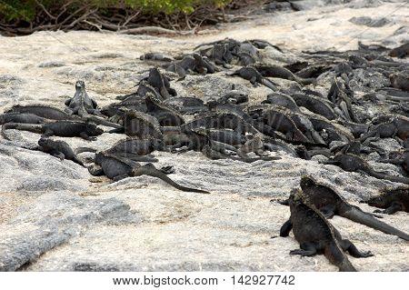 Marine iguanas warming up on rocks on Fernandina Island, Galapagos