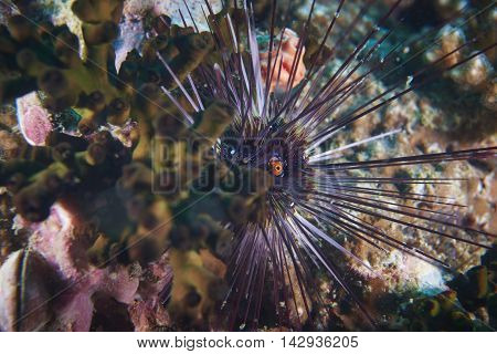 A pin cushion sea urchin living on the reef
