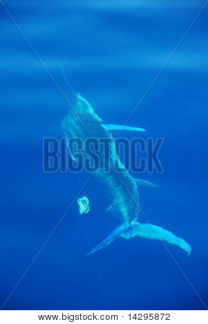 Striped Marlin under the water