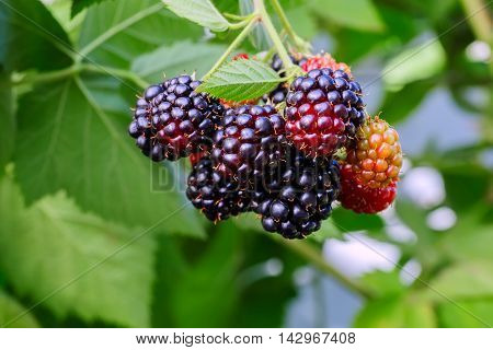 Blackberries on the bush with selective focus. Bunch of blackberries. Berry background