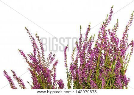 Heather flowers isolated on white background. Shallow depth