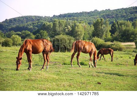 Herd of anglo-arabian horses. Well-groomed horses graze in rural pasture near the farm
