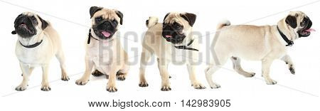 Funny, cute and playful pug dog collection isolated on white