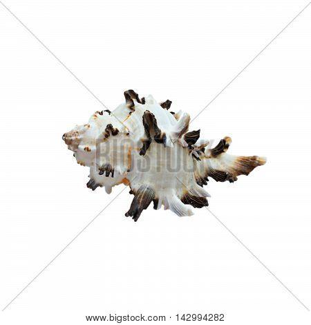 Seashell white with black edges isolated on white