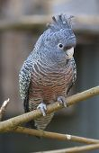 Vertical shot of a female Gang-Gang Cockatoo parrot on a wooden perch. She is looking at the camera. poster