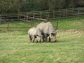Two rhinos in a field, one adult and one young. poster