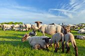 A summer landscape and herd sheep  in the Niedersachsen poster