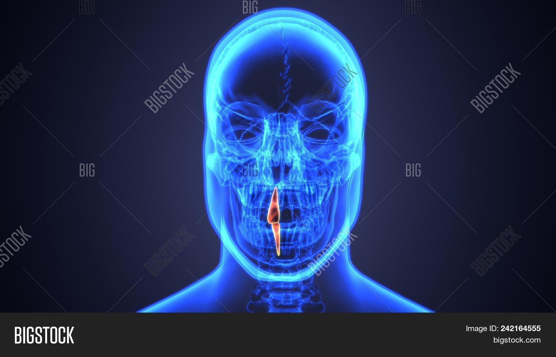3d Illustration Anatomy Mouth Teeth Image & Photo | Bigstock