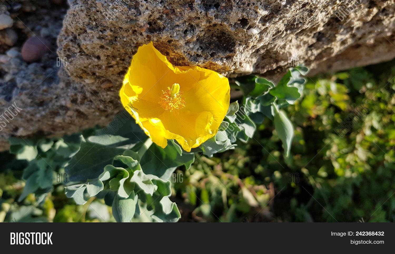 Beautiful Yellow Poppy Image Photo Free Trial Bigstock