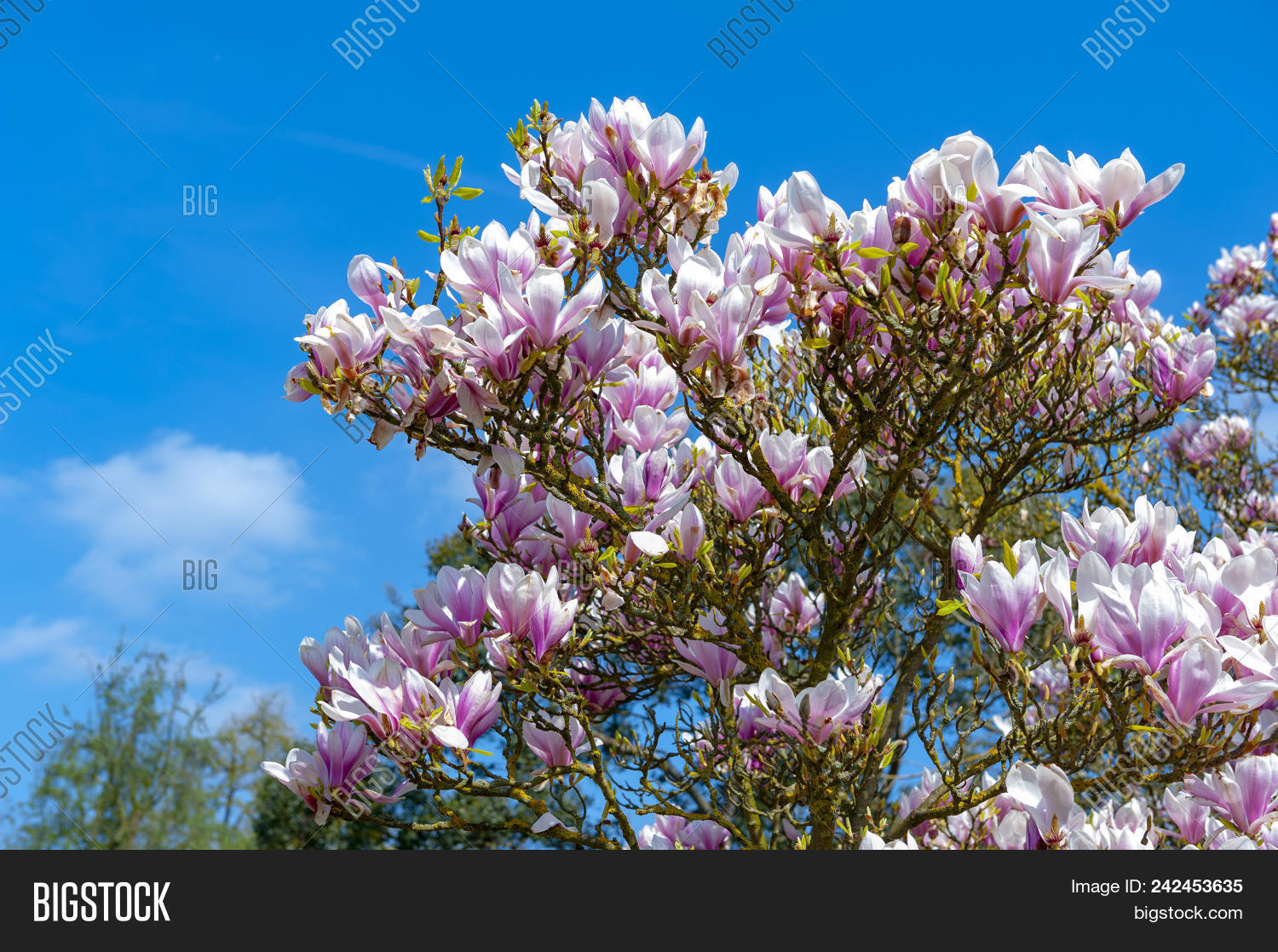 Flowering Branches Image Photo Free Trial Bigstock