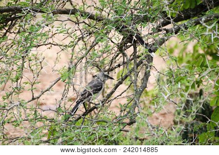 Grey Bird Among Spiky Branches Of A Tree