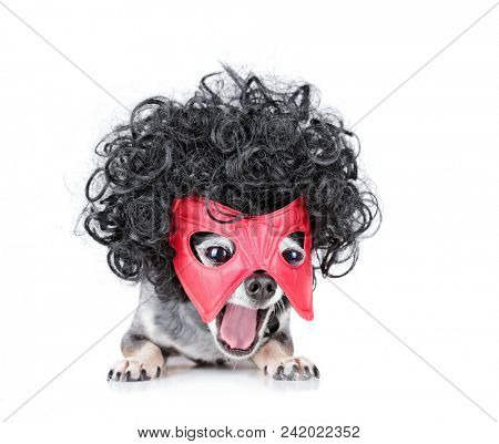 cute chihuahua with a black curly wig and super hero mask on