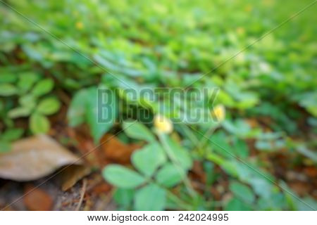 Abstract Branch And Leave Background,(pinto Peanut, Forrajero Perenne, Amendoim Forrageiro, Kacang P