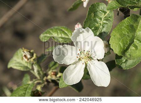 Flower To Aple Trees On Background Green Sheet In Spring Season In Garden