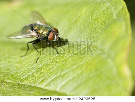 Close-up of a Bottle fly perched on a leaf. poster