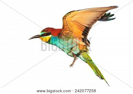 Bird With Colored Feathers In Flight Isolated On White, Wildlife And Birds