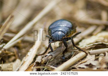 Dynastinae Female Rhinoceros Beetle Walking Along Vegetation On The Ground