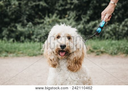 Happy Cockapoo Puppy On A Leash Sitting And Looking At The Camera During Walk In The Park.